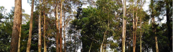 Masih Diperlukan Penelitian Lanjutan Manfaat Kalung Kesehatan Eucalyptus
