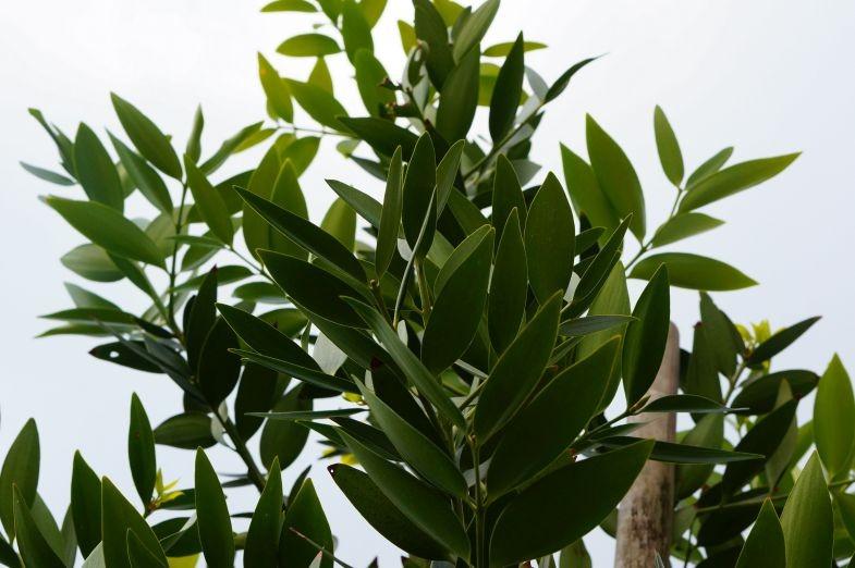 Pohon Damar Merupakan Tanaman Yang Langka Berbagi Tanam